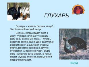 ГЛУХАРЬ Глухарь – житель лесных чащоб. Это большой лесной петух. Весной,