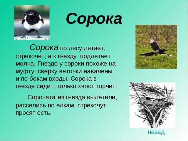 Сорока  Сорока по лесу летает, стрекочет, а к гнезду подлетает молча. Гнезд...