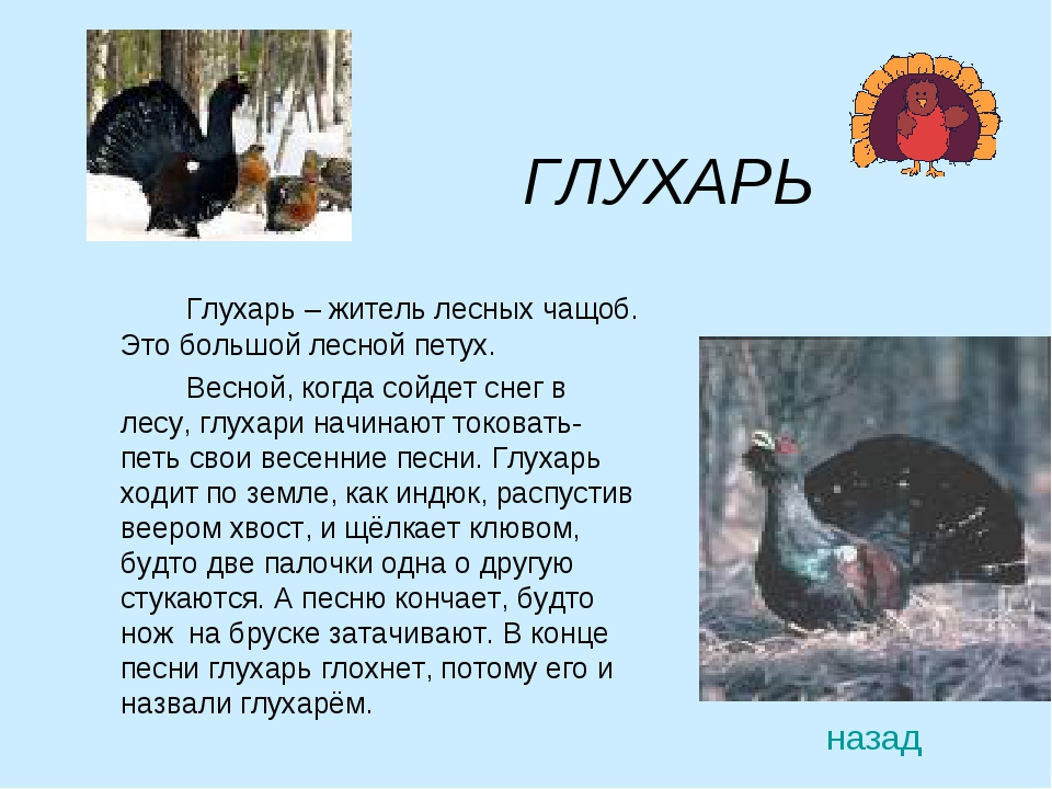 ГЛУХАРЬ Глухарь – житель лесных чащоб. Это большой лесной петух. Весной,...