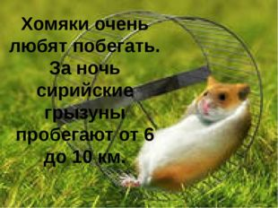 Хомяки очень любят побегать. За ночь сирийские грызуны пробегают от 6 до 10