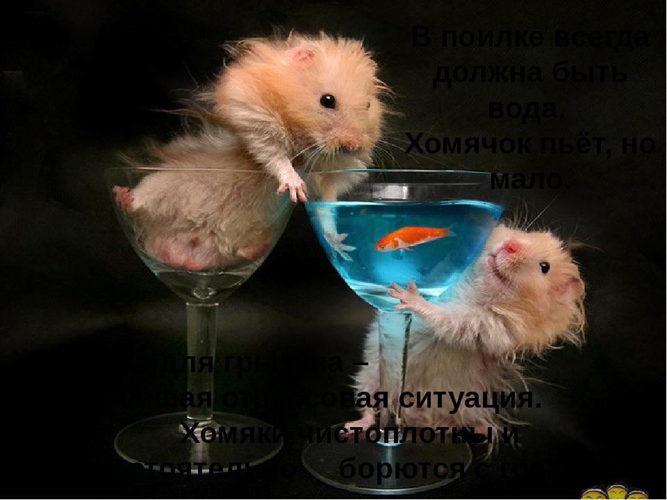 В поилке всегда должна быть вода. Хомячок пьёт, но мало. Купание для грызуна...