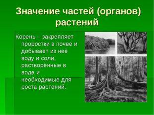 Значение частей (органов) растений Корень – закрепляет проростки в почве и до