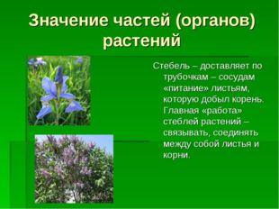Значение частей (органов) растений Стебель – доставляет по трубочкам – сосуда