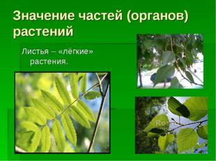 Значение частей (органов) растений Листья – «лёгкие» растения.