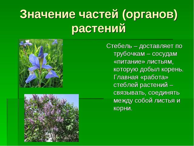 Значение частей (органов) растений Стебель – доставляет по трубочкам – сосуда...