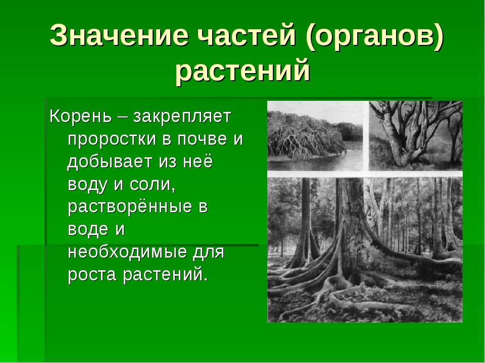Значение частей (органов) растений Корень – закрепляет проростки в почве и до...
