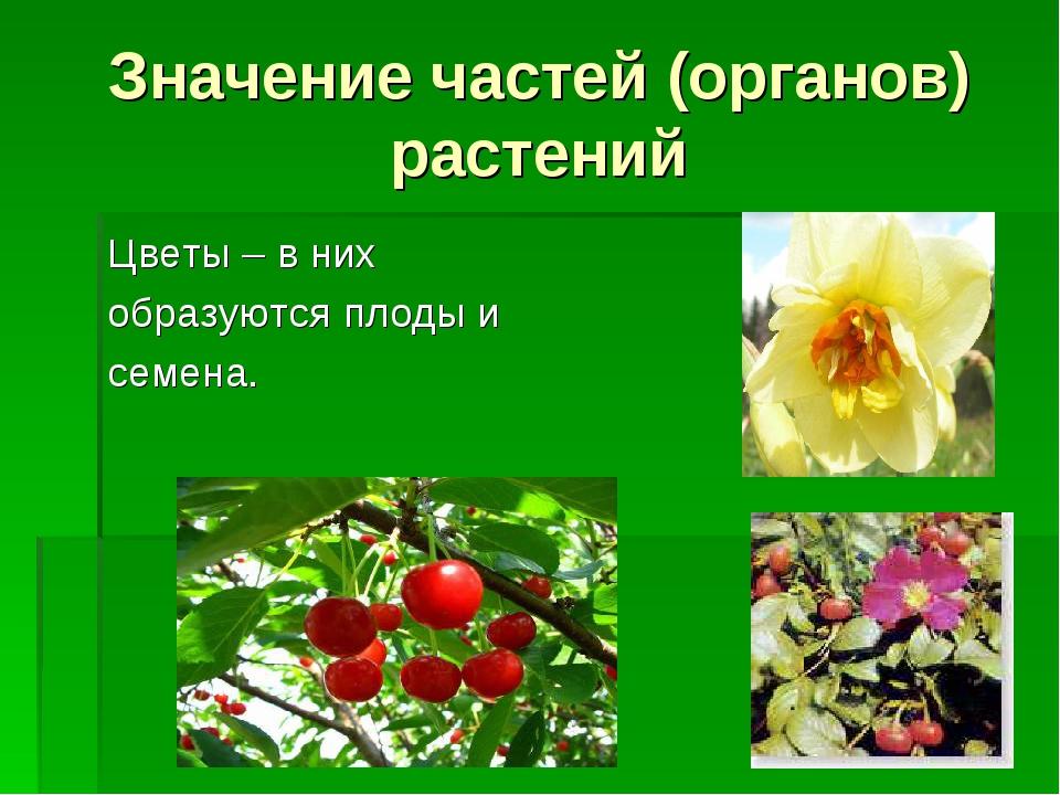 Значение частей (органов) растений Цветы – в них образуются плоды и семена.