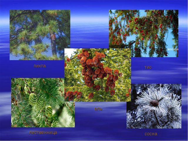 пихта ель сосна лиственница тис