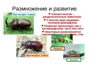 Размножение и развитие Членистоногие – раздельнополые животные. У многих ярко