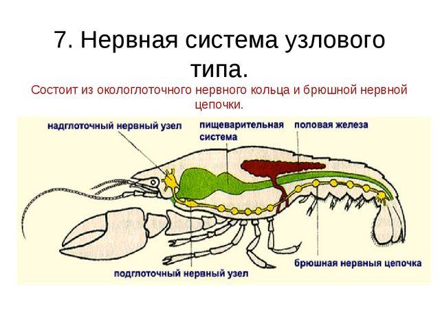 7. Нервная система узлового типа. Состоит из окологлоточного нервного кольца...
