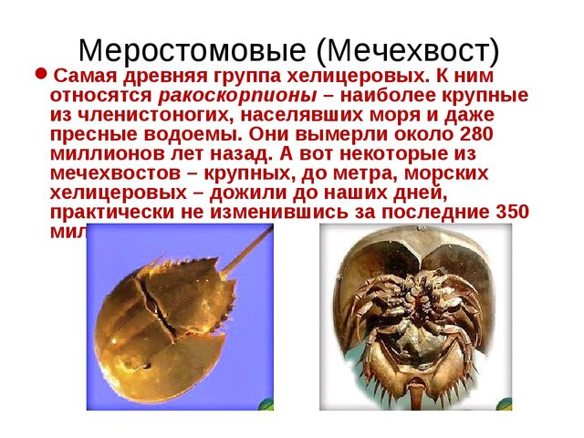 Меростомовые (Мечехвост) Самая древняя группа хелицеровых. К ним относятся ра...