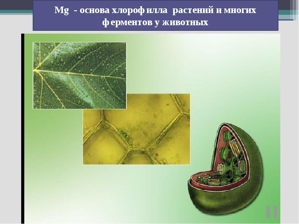 Mg - основа хлорофилла растений и многих ферментов у животных
