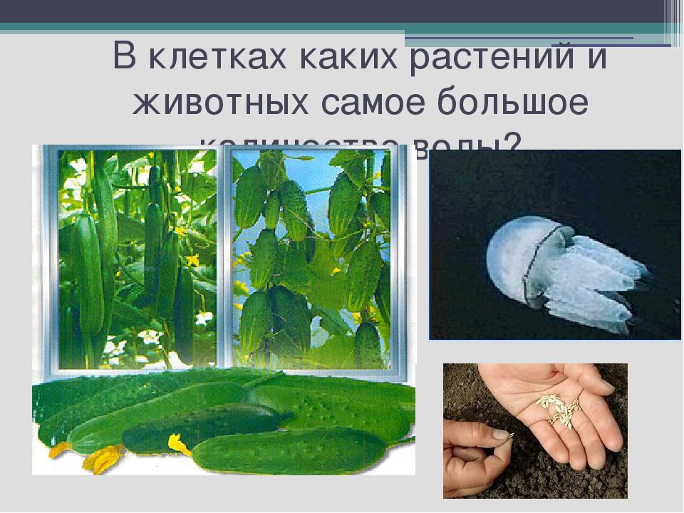 В клетках каких растений и животных самое большое количество воды?