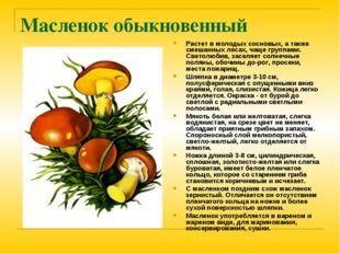 Масленок обыкновенный Растет в молодых сосновых, а также смешанных лесах, чащ