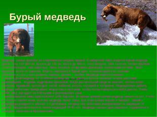 Бурый медведь Медведи- самые крупные из современных хищных зверей. В сибирско