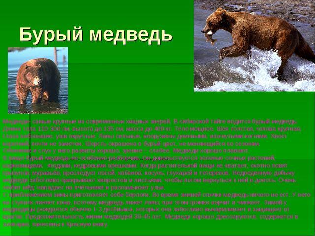 Бурый медведь Медведи- самые крупные из современных хищных зверей. В сибирско...