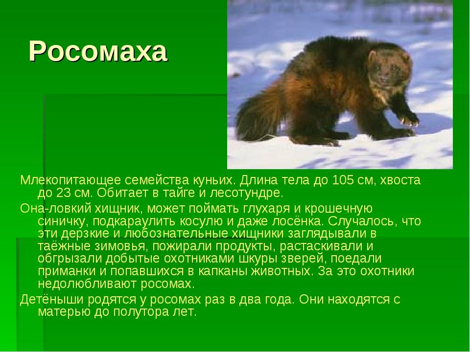 Росомаха Млекопитающее семейства куньих. Длина тела до 105 см, хвоста до 23 с...