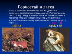 Горностай и ласка Ласка и горностай из семейства куньих - два самых маленьких