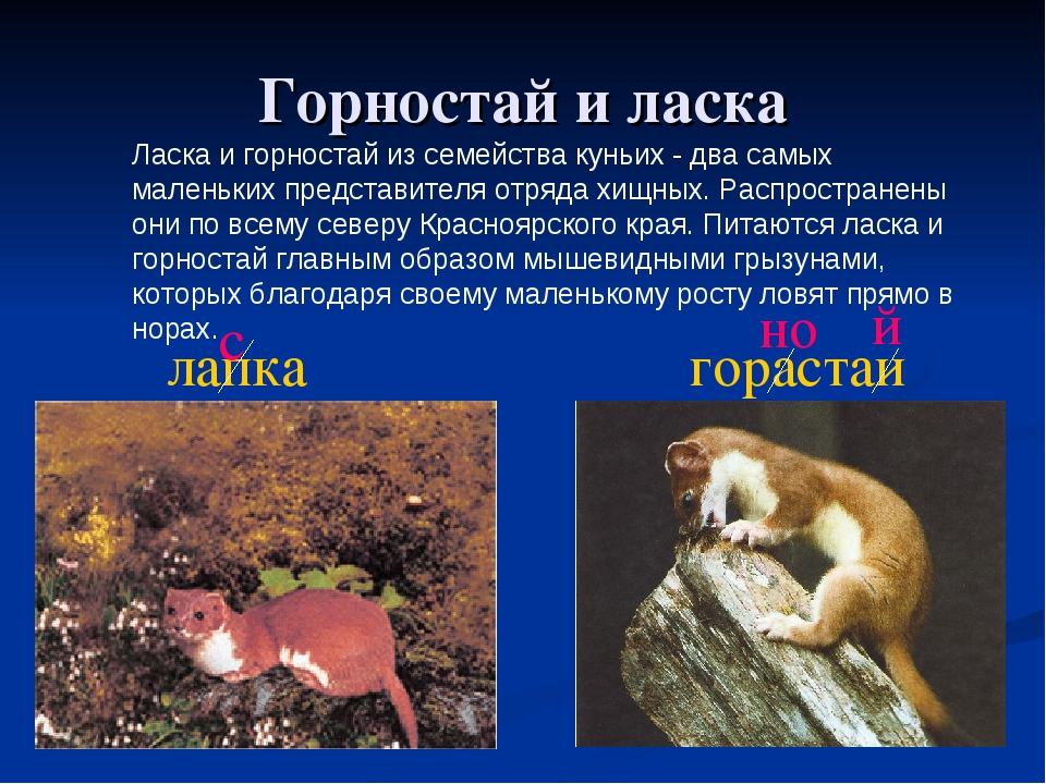 Горностай и ласка Ласка и горностай из семейства куньих - два самых маленьких...