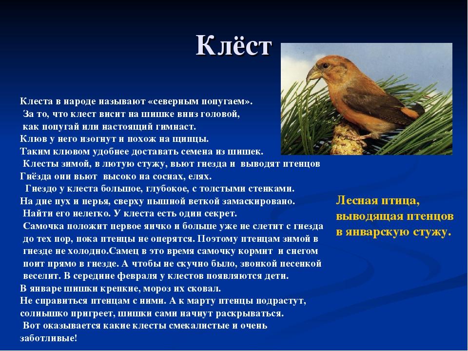 Клёст Клеста в народе называют «северным попугаем». За то, что клест висит на...