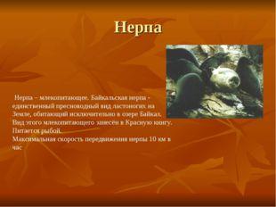 Нерпа Нерпа – млекопитающее. Байкальская нерпа - единственный пресноводный ви