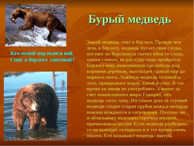 Бурый медведь Зимой медведь спит в берлоге. Прежде чем лечь в берлогу, медве...