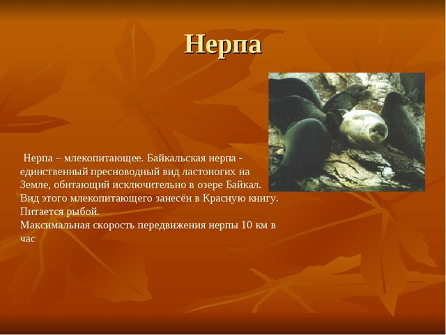 Нерпа Нерпа – млекопитающее. Байкальская нерпа - единственный пресноводный ви...