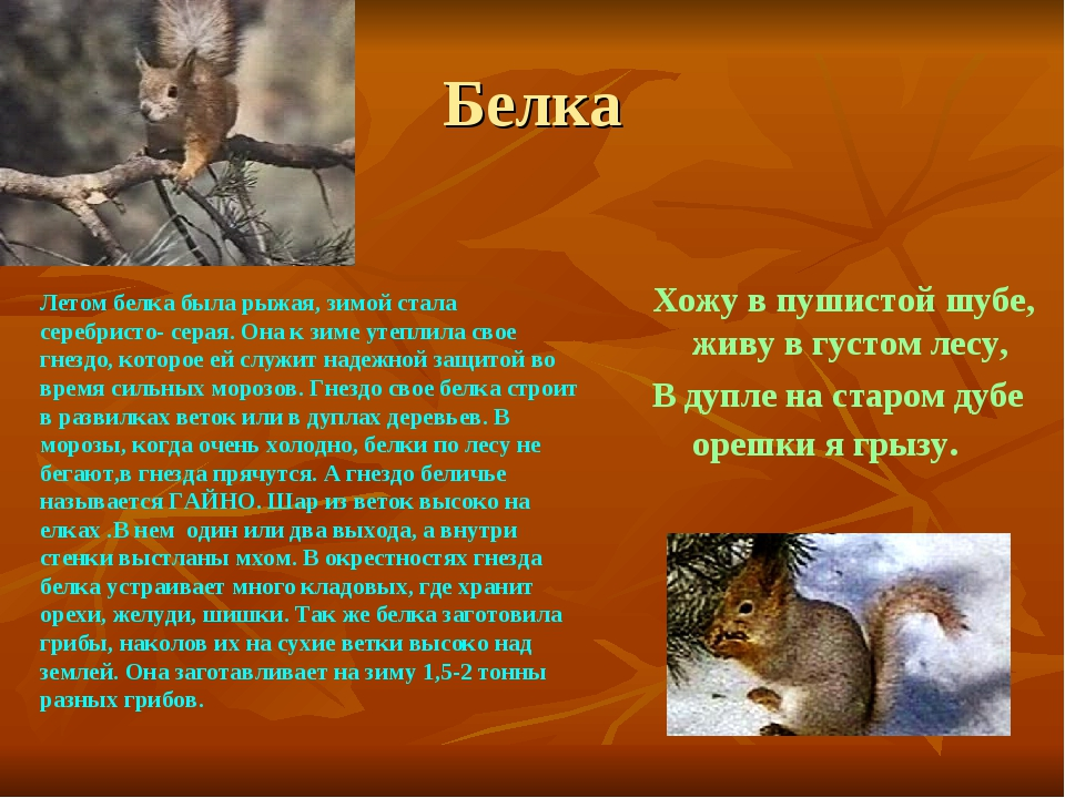 Белка Хожу в пушистой шубе, живу в густом лесу, В дупле на старом дубе орешки...