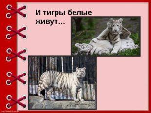И тигры белые живут…