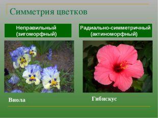 Симметрия цветков Радиально-симметричный (актиноморфный) Неправильный (зигомо