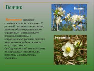 Венчик Венчиком называют совокупность лепестков цветка. У растений, опыляемых