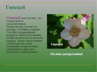 Гинецей Гинецей, или пестик,- это совокупность плодолистиков. Плодолистик сос