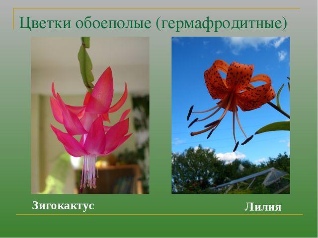 Цветки обоеполые (гермафродитные) Зигокактус Лилия