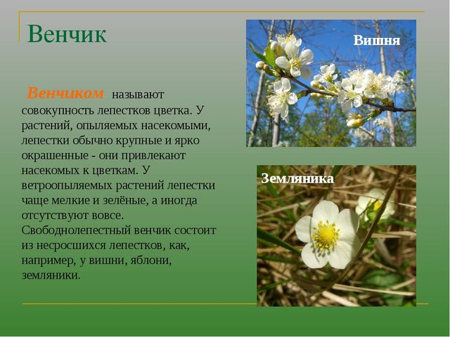 Венчик Венчиком называют совокупность лепестков цветка. У растений, опыляемых...