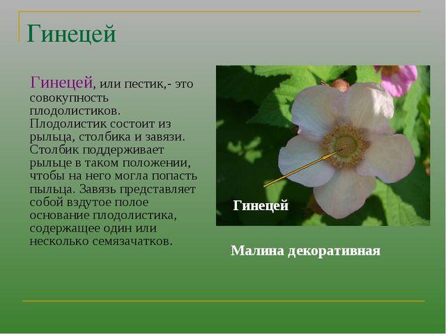 Гинецей Гинецей, или пестик,- это совокупность плодолистиков. Плодолистик сос...