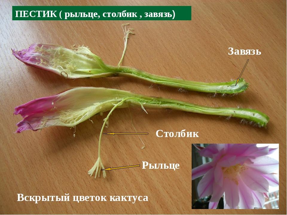Рыльце Столбик Завязь ПЕСТИК ( рыльце, столбик , завязь) Вскрытый цветок какт...