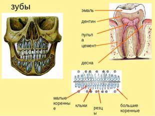 зубы эмаль дентин пульпа цемент десна малые коренные клыки резцы большие коре