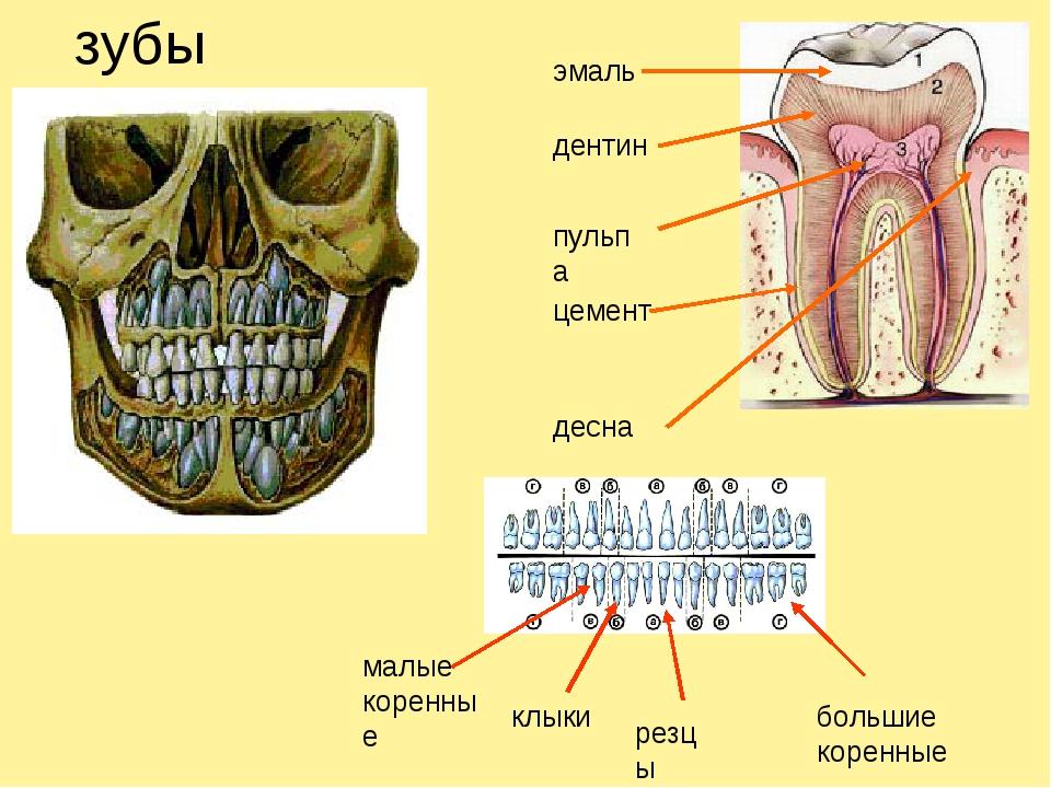 зубы эмаль дентин пульпа цемент десна малые коренные клыки резцы большие коре...