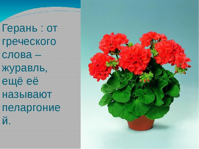 Герань : от греческого слова – журавль, ещё её называют пеларгонией.
