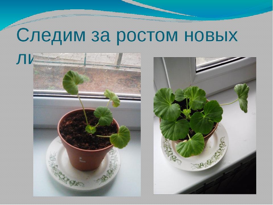 Следим за ростом новых листьев.