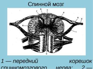 Спинной мозг 1—передний корешок спинномозгового нерва; 2—спинномозговой см