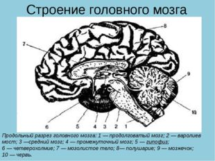Строение головного мозга Продольный разрез головного мозга: 1—продолговатый