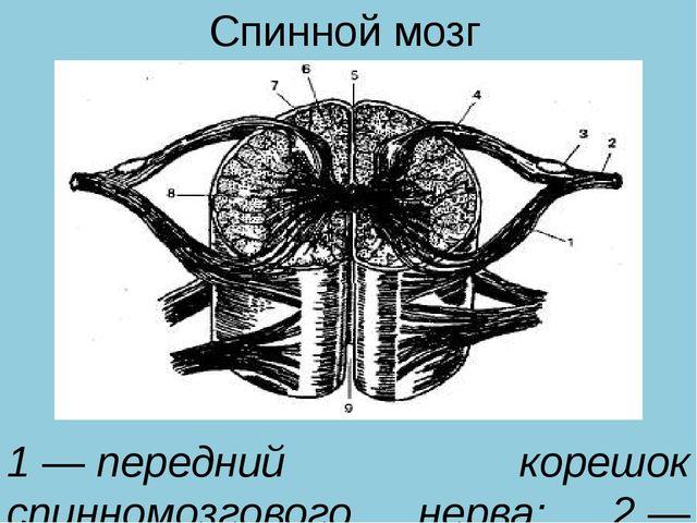 Спинной мозг 1—передний корешок спинномозгового нерва; 2—спинномозговой см...