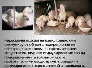 Наркоманы похожи на крыс, только они стимулируют область подкрепления не элек