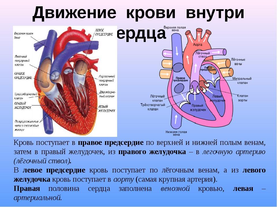 Кровь к органам от сердца поступает из