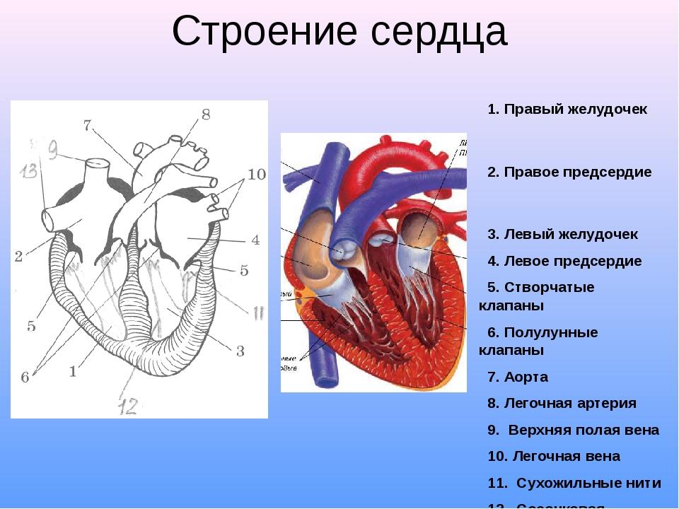 Желудочек сердца рисунок