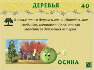 Листья этого дерева имеют удивительное свойство: начинают дрожать от малейшег
