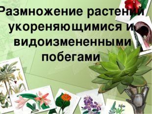 Размножение растений укореняющимися и видоизмененными побегами