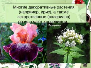 Многие декоративные растения (например, ирис), а также лекарственные (валериа
