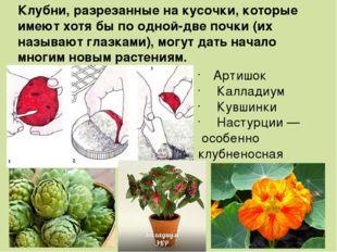 Артишок Калладиум Кувшинки Настурции — особенно клубненосная Клубни, разреза